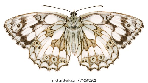 The marbled white Melanargia galathea beautiful butterfly isolated on white background. Ventral view of Melanargia butterfly.