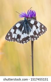 Marbled white (Melanargia galathea) female butterfly spreading its wings while sitting on greater knapweed (Centaurea scabiosa) flower.