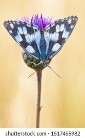 Marbled white (Melanargia galathea) female butterfly sits upside down on greater knapweed (Centaurea scabiosa) flower.