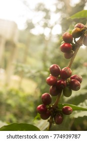 In Marcala, Honduras, coffee cherries are almost ready for the harvest season.