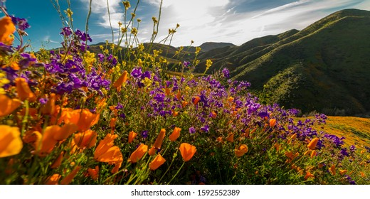 """MARCH 15, 2019 - LAKE ELSINORE, CA, USA - """"Super Bloom"""" California Poppies in Walker Canyon outside of Lake Elsinore, Riverside County, CA"""