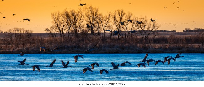 MARCH 7, 2017 - Grand Island, Nebraska -PLATTE RIVER, Migratory Sandhill Cranes fly over cornfield as part of their spring migration from Texas and Mexico, north to Canada, Alaska, and Siberia.