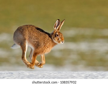 March hares running over snow covered field