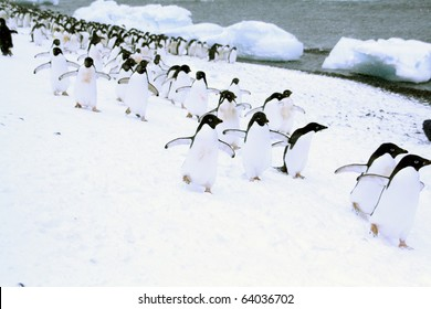 March of the Penguins; Adelie penguins, moving down to the shoreline,	[Pygoscelis adeliae]	Brown Bluff,	Antarctica