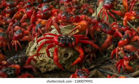 The march of the red crabs on Christmas Island, an Australian territory in the Indian Ocean.