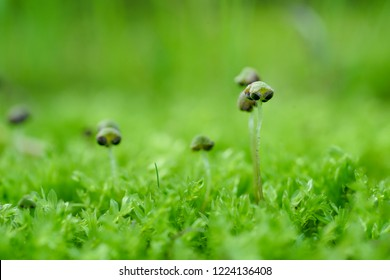 Marchantia is a genus in the family Marchantiaceae of the order Marchantiales, a group of liverworts