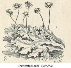Marchantia polymorpha (common liverwort) -old illustration by W.A.u.Sohn from Budowa i Zycie rosliny, author Wladyslaw Kozlowski, publishing house M.Arcta, Warsaw, 1908 - Shutterstock ID 96892903