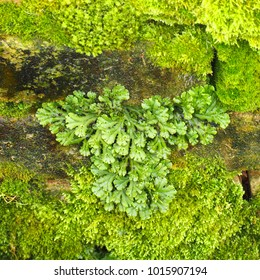 Marchantia polymorpha, known as the common liverwort or umbrella liverwort, moss on the old stones. Thallose