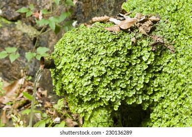Marchantiophyta, non-vascular bryophyte land plants,  hepatics, liverworts growing on a water fountain.