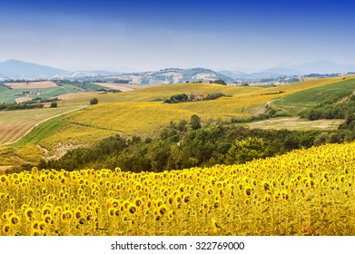 Marches (Italy) - Landscape at summer with sunflowers