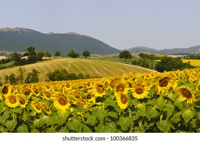 Marches (Italy), near Fabriano: landscape at summer with sunflowers