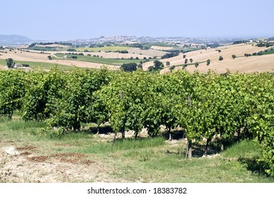 Marches (Italy) - Vineyards and landscape at summer between Macerata and Ancona