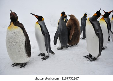 The marching of king penguins