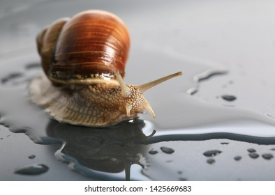 Marco close-up of snail on gray background in water
