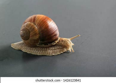 Marco close-up of snail on gray background