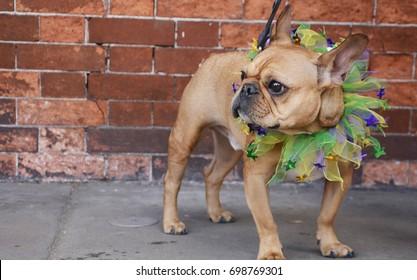 Mardi Dog