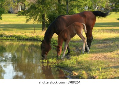 Mare and Foal drinking from pond