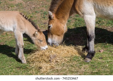 A mare and foal eating hay