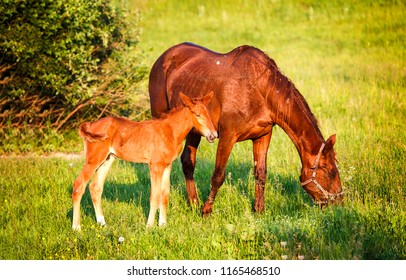 Mare and foal grazing on pasture. Horse farm scene. Mare and horse foal graze