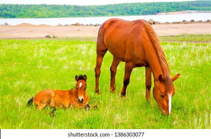 Mare and foal grazing on pasture. Chestnut horses on green grass