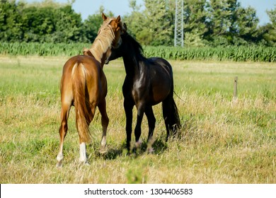 mare and foal in green field, in Sweden Scandinavia North Europe
