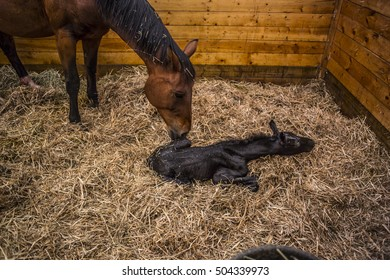 Mare and Foal, the mother horse and her hours old baby.