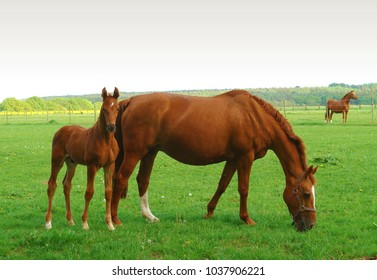 Mare and foal on the field