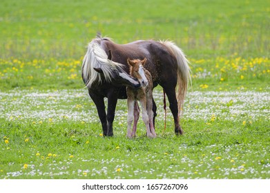 Mare with foal on the pasture