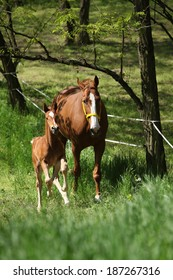 Mare with foal running in spring nature