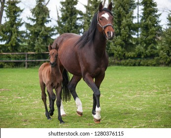 Mare and foal of sport horse on meadow