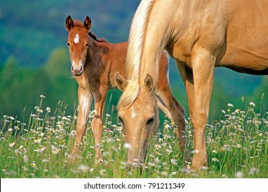 Mare and Foal together in meadow of flowers