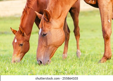 Mare and her foal grazing grass in summer pasture.