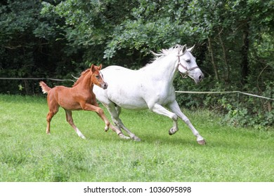 Mare with young foal in the pasture