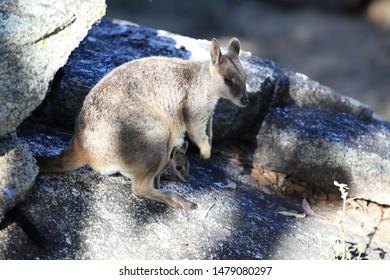 Mareeba rock wallabies at Granite Gorge,queensland australia