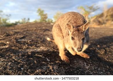 Mareeba Rock wallaby at Granite Gorge, Queensland,Australia