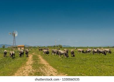 Maremma cows in Alberese , Italy, some cows in the Maremma Regional Park  Grosseto region