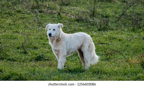 Maremma Sheepdog in the field of Italian region Lazio
