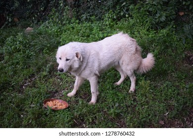 Maremma sheepdog standing with a plate full of pasta on the ground
