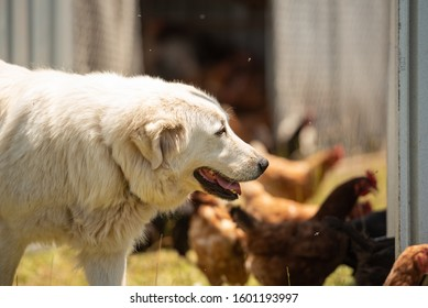 Maremma sheepdog working on farm land