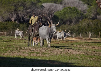 Maremma , Tuscany, Italy 03.12.2016. Cattle ranching in Maremma, breeding maremmana cow. Italian farmer is grazing cattle in the meadows .