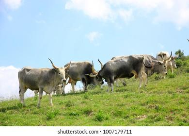Maremmana cattle, Maremma, Tuscany, Italy, Europe