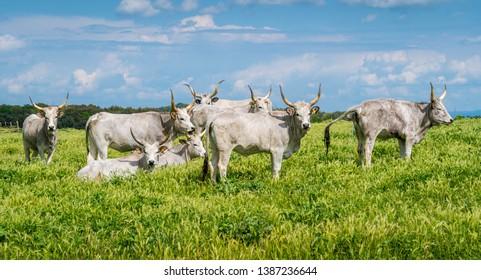 Maremmana cow roaming near Vulci, in the Province of Viterbo, Lazio, central Italy.