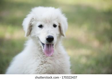 Maremmano Sheperd dog