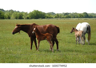 Mares and colts grazing in pasture