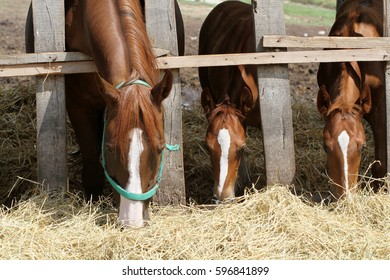 Mares and foals eating hay on animal farm