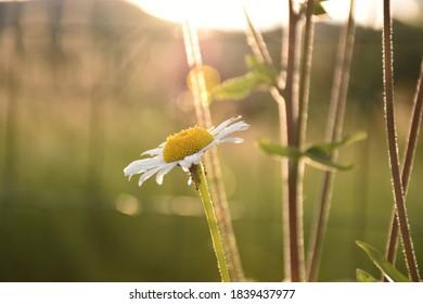 Margarite mit Sonne im Hintergrund