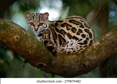 Margay, Leopardis wiedii, beautiful cat  sitiing on the branch in the costarican tropical forest.