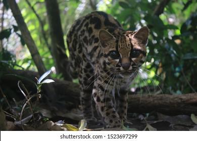 An margay, Leopardus wiedii, stalking towards the camera