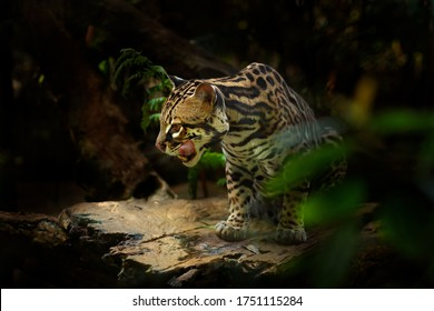 Margay, nice cat, sitting on the branch in the green tropical forest. Detail portrait cat ocelot, Leopardus wiedii, in tropical forest. Animal in the nature habitat. Wildlife in Costa Rica.