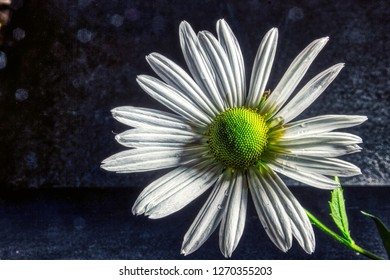 Margerite daisy Flower  blossom / Flowers of the magic of summer